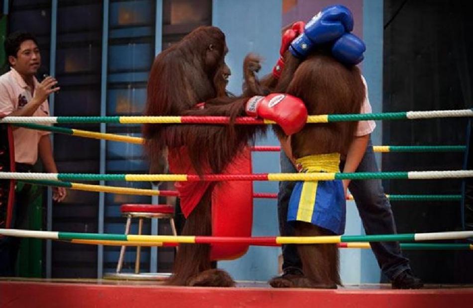 Khỉ đánh boxing